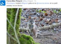 Un walibi serait né dans une réserve du Périgord, selon la station locale de France Bleu