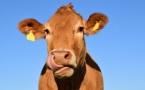 Radio Meuh: l'effet bœuf